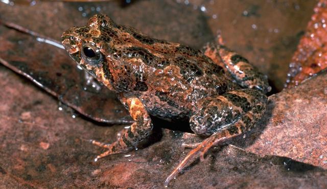 Eastern Sign-bearing Froglet