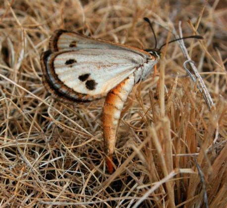 Golden Sun Moth