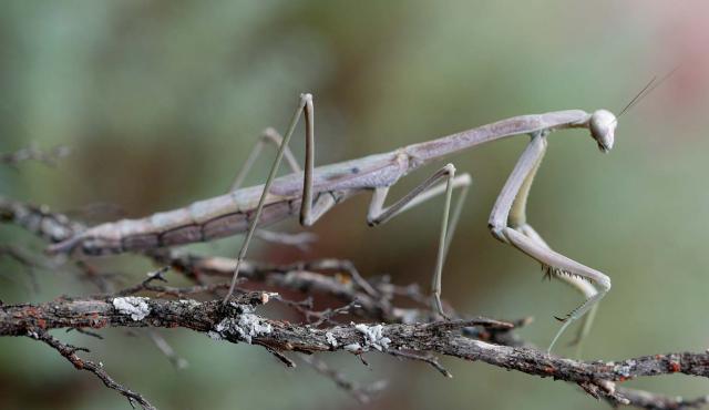 Grass Mantis