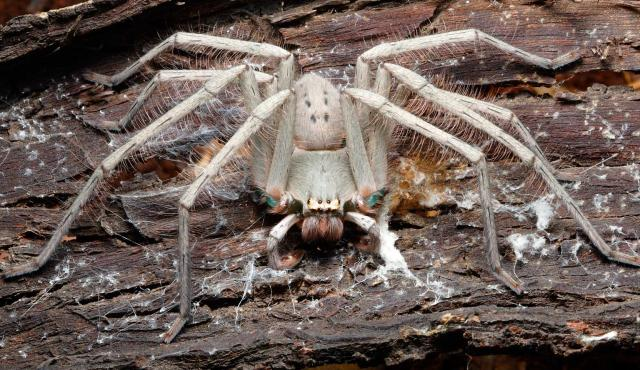 Green-bellied Huntsman