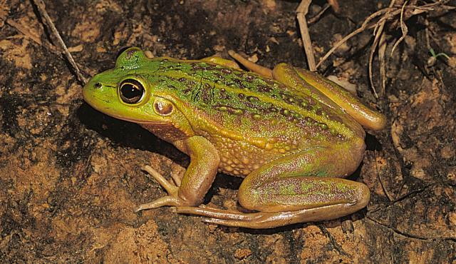 Growling Grass Frog
