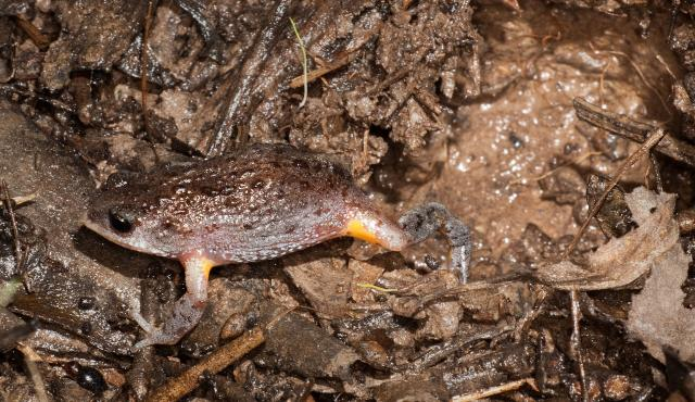 Southern Toadlet