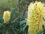 Silver Banksia