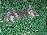 Eastern Barred Bandicoot (Mainland)