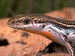 Eastern Three-lined Skink