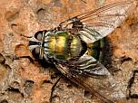Green Tachinid Fly