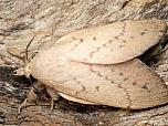Gum Snout Moth