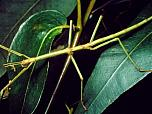 Margined-winged Stick Insect
