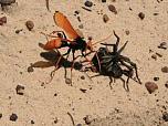 Orange Spider-wasp