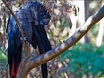 Red-tailed Black Cockatoo (south-eastern)